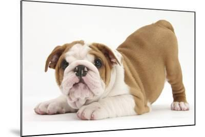 Playful Bulldog Puppy, 8 Weeks, in Play-Bow-Mark Taylor-Mounted Photographic Print