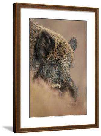 Wild Boar (Sus Scrofa) Alladale Wilderness Reserve, Scotland, March 2009-Cairns-Framed Photographic Print