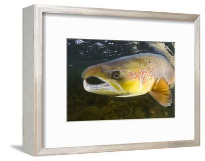 Atlantic Salmon (Salmo Salar) Male, River Orkla, Norway, September 2008-Lundgren-Framed Photographic Print
