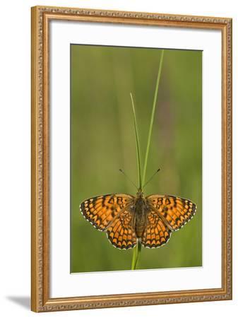 Glanville Fritillary Butterfly (Melitaea Cinxia) on Grass, Pollino Np, Basilicata, Italy, May-M?ller-Framed Photographic Print