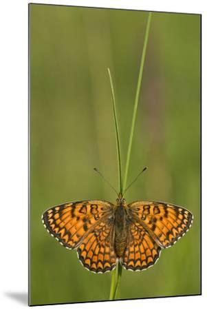 Glanville Fritillary Butterfly (Melitaea Cinxia) on Grass, Pollino Np, Basilicata, Italy, May-M?ller-Mounted Photographic Print