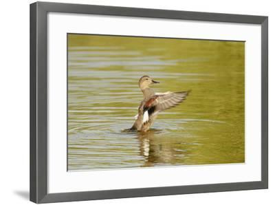 Gadwall (Anas Strepera) Female Duck Stretching Wings on Rutland Water, Rutland, UK, April-Terry Whittaker-Framed Photographic Print