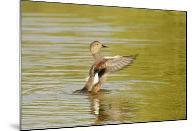 Gadwall (Anas Strepera) Female Duck Stretching Wings on Rutland Water, Rutland, UK, April-Terry Whittaker-Mounted Photographic Print