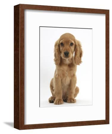 Golden Cocker Spaniel Puppy, Maizy, Sitting-Mark Taylor-Framed Photographic Print