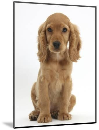 Golden Cocker Spaniel Puppy, Maizy, Sitting-Mark Taylor-Mounted Photographic Print