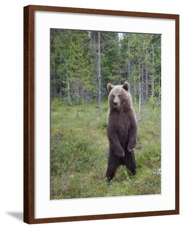 European Brown Bear (Ursos Arctos) Standing on Rear Legs, Kuhmo, Finland, July 2009-Cairns-Framed Photographic Print