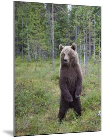 European Brown Bear (Ursos Arctos) Standing on Rear Legs, Kuhmo, Finland, July 2009-Cairns-Mounted Photographic Print
