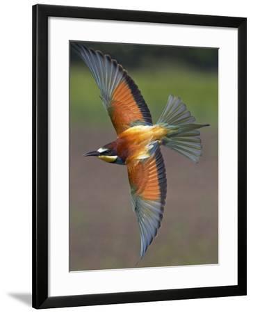 European Bee-Eater (Merops Apiaster) in Flight, Pusztaszer, Hungary, May 2008-Varesvuo-Framed Photographic Print