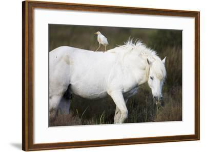 White Camargue Stallion with a Cattle Egret (Bulbulcus Ibis) on His Back, Camargue, France-Allofs-Framed Photographic Print