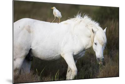 White Camargue Stallion with a Cattle Egret (Bulbulcus Ibis) on His Back, Camargue, France-Allofs-Mounted Photographic Print