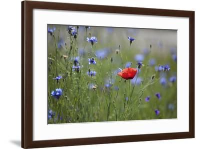 Red Poppy (Papaver Rhoeas) Brown Knapweed (Centaurea Jacea) and Forking Larkspur, Slovakia-Wothe-Framed Photographic Print