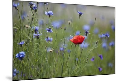 Red Poppy (Papaver Rhoeas) Brown Knapweed (Centaurea Jacea) and Forking Larkspur, Slovakia-Wothe-Mounted Photographic Print