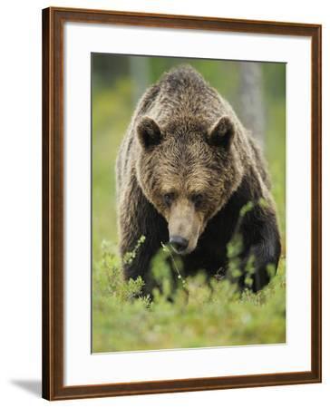 Eurasian Brown Bear (Ursus Arctos) Suomussalmi, Finland, July 2008-Widstrand-Framed Photographic Print