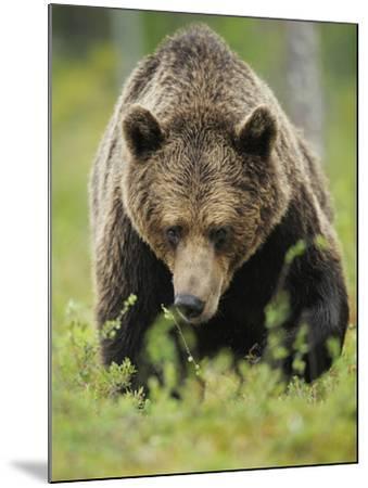 Eurasian Brown Bear (Ursus Arctos) Suomussalmi, Finland, July 2008-Widstrand-Mounted Photographic Print
