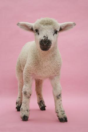 Lamb Portrait-Mark Taylor-Framed Photographic Print