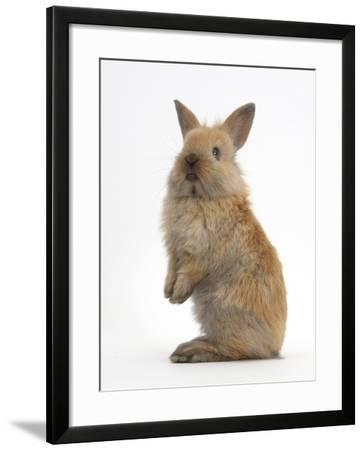 Baby Lionhead Cross Lop Rabbit, Standing-Mark Taylor-Framed Photographic Print