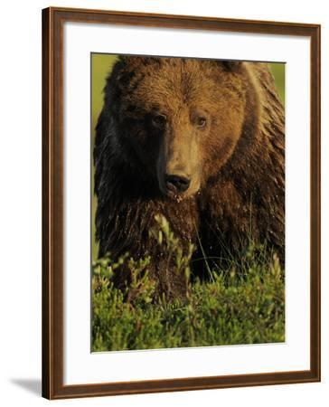 European Brown Bear (Ursus Arctos) Kuhmo, Finland, July 2009-Widstrand-Framed Photographic Print