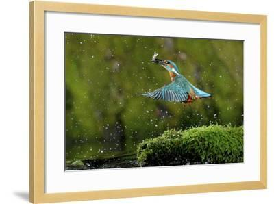 Common Kingfisher {Alcedo Atthis} Coming Up Out of Water with Fish, Lorraine, France-Poinsignon and Hackel-Framed Photographic Print