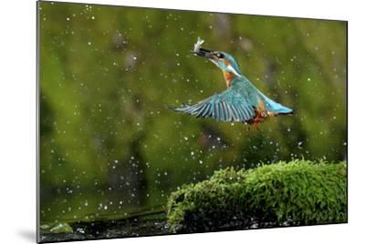 Common Kingfisher {Alcedo Atthis} Coming Up Out of Water with Fish, Lorraine, France-Poinsignon and Hackel-Mounted Photographic Print