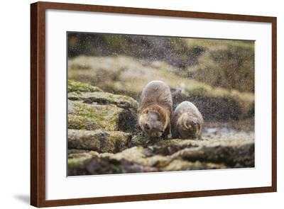 European Otter (Lutra Lutra) Mother and Cub Shaking Water from their Coats-Mark Hamblin-Framed Photographic Print