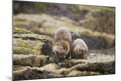 European Otter (Lutra Lutra) Mother and Cub Shaking Water from their Coats-Mark Hamblin-Mounted Photographic Print