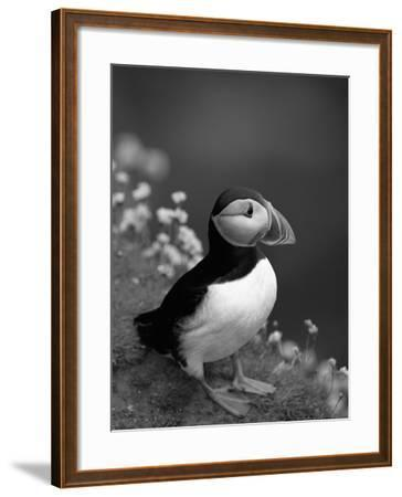 Puffin Portrait, Great Saltee Is, Ireland-Pete Oxford-Framed Photographic Print
