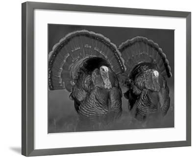 Wild Turkey Males Displaying, Texas, USA-Rolf Nussbaumer-Framed Photographic Print