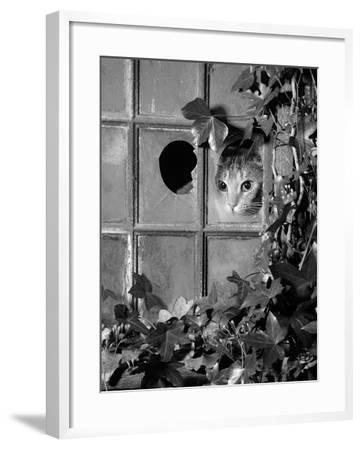 Tabby Tortoiseshell in an Ivy-Grown Window of a Deserted Victorian House-Jane Burton-Framed Photographic Print
