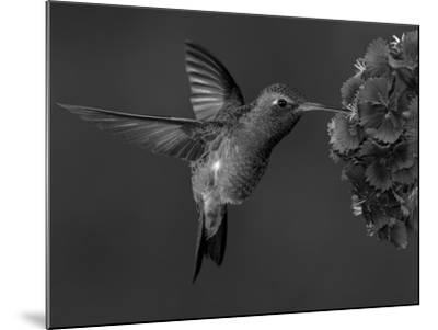 Broad-Billed Hummingbird, Male Feeding on Garden Flowers, USA-Dave Watts-Mounted Photographic Print