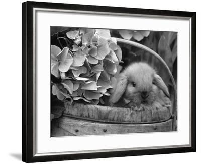 Baby Holland Lop Eared Rabbit in Basket, USA-Lynn M^ Stone-Framed Photographic Print