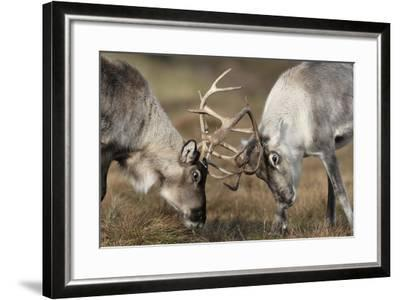 Reindeer Fighting-Laurie Campbell-Framed Photographic Print