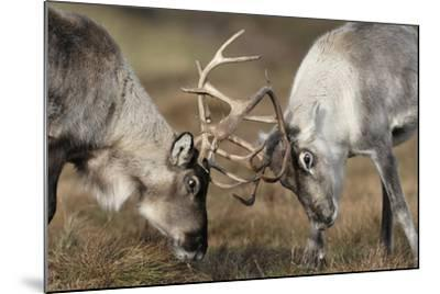 Reindeer Fighting-Laurie Campbell-Mounted Photographic Print
