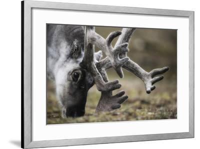 Svalbard Reindeer Antlers In Velvet-Ole Jorgen Liodden-Framed Photographic Print
