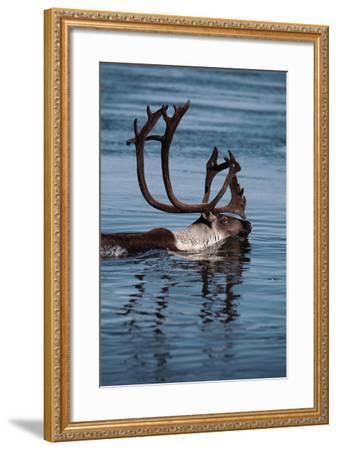 Caribou Migration-Staffan Widstrand-Framed Photographic Print