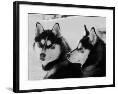 Siberian Husky Sled Dogs Pair in Snow, Northwest Territories, Canada March 2007-Eric Baccega-Framed Photographic Print