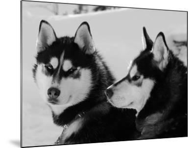 Siberian Husky Sled Dogs Pair in Snow, Northwest Territories, Canada March 2007-Eric Baccega-Mounted Photographic Print