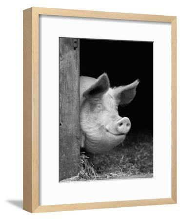 Domestic Pig Looking out of Stable, Europe-Reinhard-Framed Photographic Print