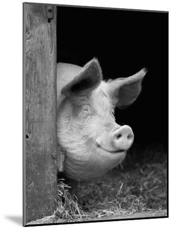 Domestic Pig Looking out of Stable, Europe-Reinhard-Mounted Photographic Print