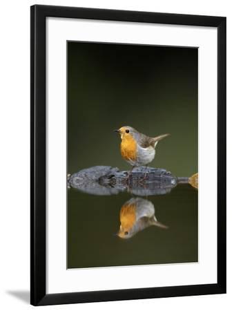 Robin (Erithacus Rubecula) at Water, Pusztaszer, Hungary, May 2008-Varesvuo-Framed Photographic Print