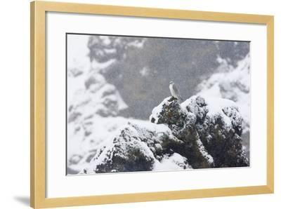 Female Gyrfalcon (Falco Rusticolus) in Snow, Myvatn, Thingeyjarsyslur, Iceland, April 2009-Bergmann-Framed Photographic Print