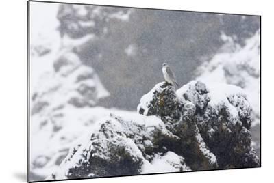 Female Gyrfalcon (Falco Rusticolus) in Snow, Myvatn, Thingeyjarsyslur, Iceland, April 2009-Bergmann-Mounted Photographic Print