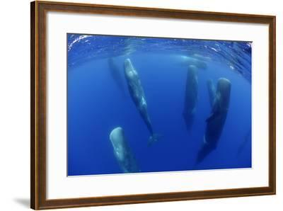 Sperm Whales (Physeter Macrocephalus) Resting, Pico, Azores, Portugal-Lundgren-Framed Photographic Print
