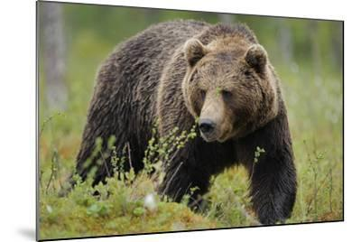 Eurasian Brown Bear Portrait (Ursus Arctos) Suomussalmi, Finland, July 2008-Widstrand-Mounted Photographic Print