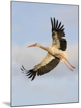 White Stork (Ciconia Ciconia) in Flight, Rusne, Nemunas Regional Park, Lithuania, June 2009-Hamblin-Mounted Photographic Print