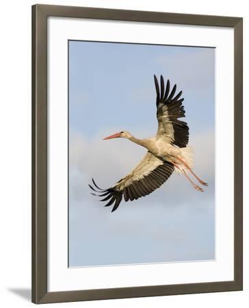 White Stork (Ciconia Ciconia) in Flight, Rusne, Nemunas Regional Park, Lithuania, June 2009-Hamblin-Framed Photographic Print