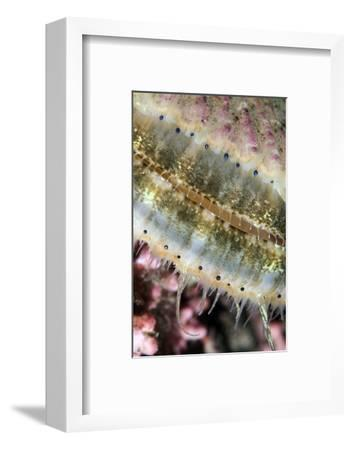 Queen Scallop (Chlamys Opercularis) Close-Up Showing Eyes in a Row, Lofoten, Norway, November-Lundgren-Framed Photographic Print