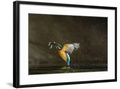 Kingfisher (Alcedo Atthis) Flying Out of Water Carrying Fish, Balatonfuzfo, Hungary, January 2009-Nov?k-Framed Photographic Print