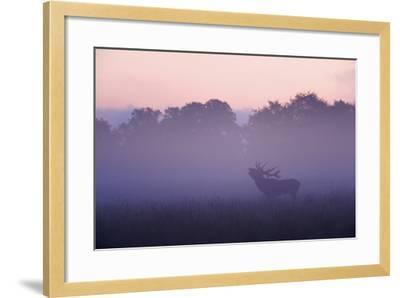 Red Deer Stag Calling During Rut, Light Mist at Sunrise, Klampenborg Dyrehaven, Denmark-M?llers-Framed Photographic Print