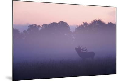 Red Deer Stag Calling During Rut, Light Mist at Sunrise, Klampenborg Dyrehaven, Denmark-M?llers-Mounted Photographic Print