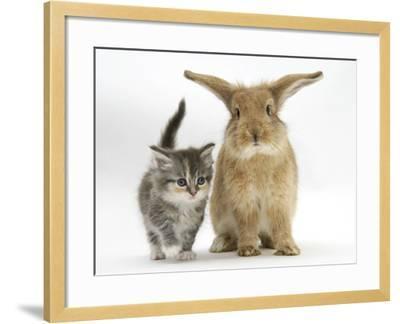 Tabby Kitten with Sandy Lionhead-Cross-Mark Taylor-Framed Photographic Print